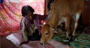 Husband cow