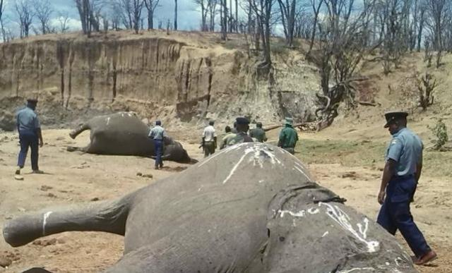 A group of elephants, believed to have been killed by poachers, lie dead at a watering hole in Zimbabwe's Hwange National Park
