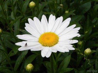 Shasta Daisy and a fly, photo by mzrosie