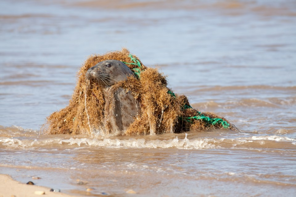 Animal Welfare. Marine Pollution. Seal Caught In Discarded Plast