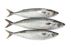 269143-mackerel-fish