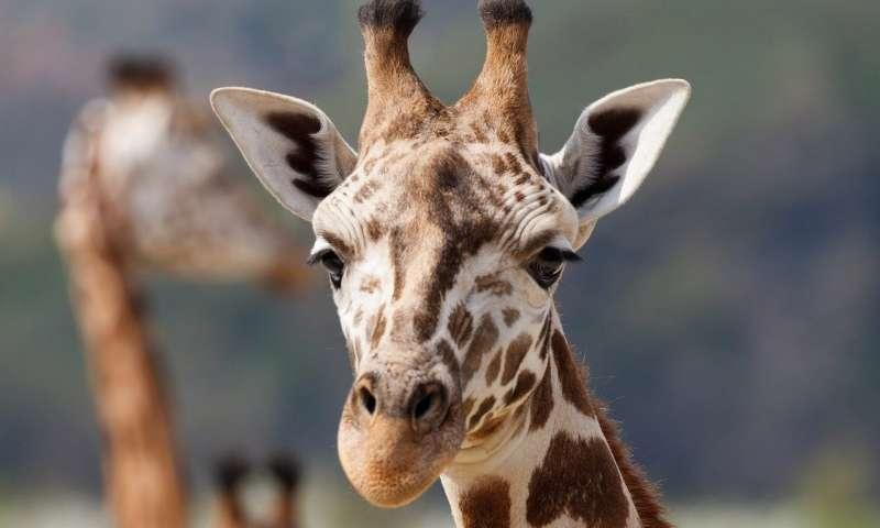 زرافة/giraffe