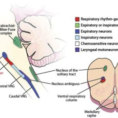 Reticular Formation Diagram How To Read Vw Wiring Diagrams Pearls And Oy Sters Neurology