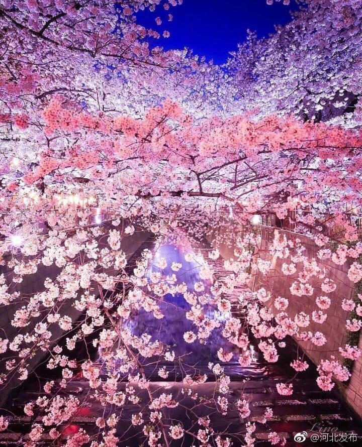 櫻花下落的速度,是每秒五厘米,這目黑川的櫻花 櫻花 目黑川 下落_新浪新聞