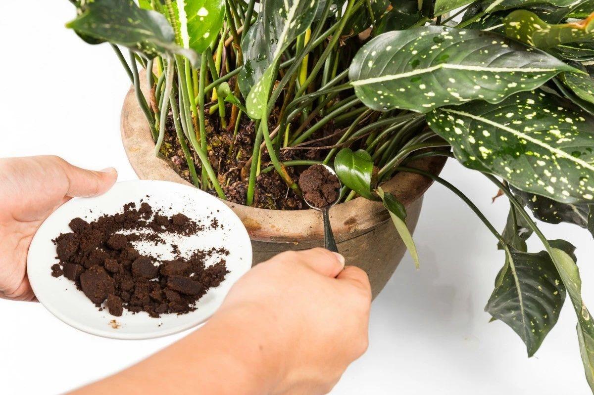 咖啡渣直接給室內植物施肥要小心。放陽臺上曬一下。變成有機肥料|咖啡渣|植物|堆肥_新浪新聞