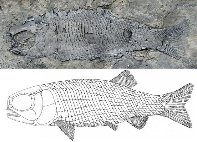 圖1。 亞洲肋鱗裂齒魚正型標本和復原圖(徐光輝 供圖)
