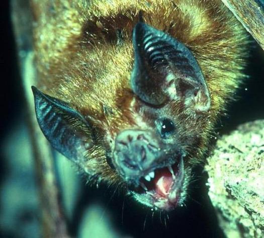 """有四种蝙蝠进化出了""""极度长寿""""的特征,因此它们的寿命可以比其它蝙蝠至少长四倍。如果我们能像蝙蝠一样长寿,按体积换算后,我们可以活240年之久。"""