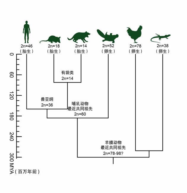 哺乳動物染色體演化歷程簡圖(週暘等繪)