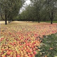 Apple Kitchen Rugs Sears Packages 风暴过后果园现 苹果地毯 果园 爱尔兰 风暴 新浪新闻