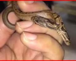 双頭のヘビ 画像