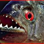ピラニア釣り選手権!アマゾン川から10万匹!GW東京で世界初開催!