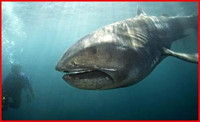 メガマウスザメとは?幻のサメの撮影に成功!驚きの生態や動画まとめ!