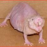 ハダカデバネズミのペットとしての値段や驚異の生態が気になる!寿命が超長くて老化しないって本当!?