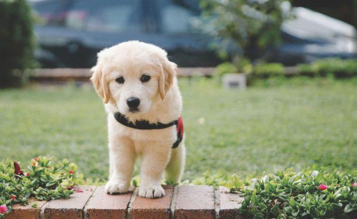 Smart-Pups
