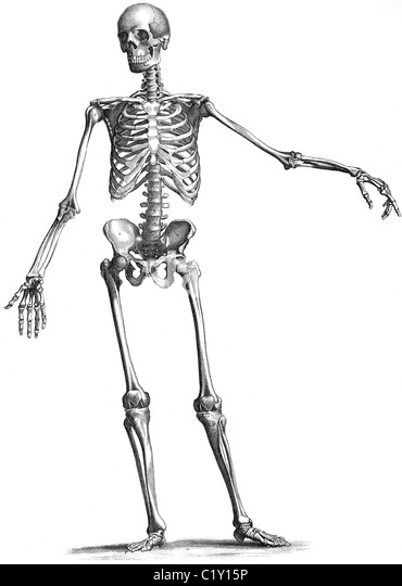 Skeleton Illustration Stock Photos & Skeleton Illustration
