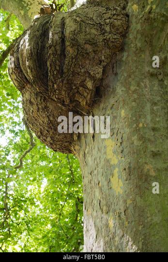 Burls Stock Photos Amp Burls Stock Images Alamy