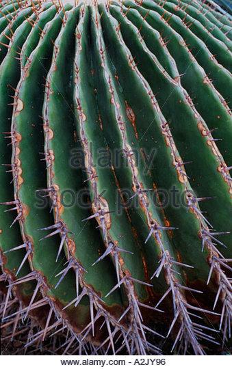 Echinocactus Ingens Stock Photos  Echinocactus Ingens