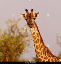 Giraffe South African Subspecies Giraffa Stock Photos ...