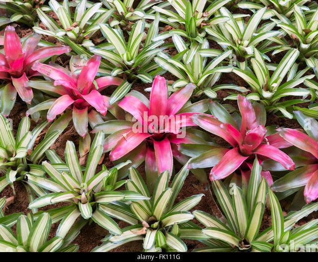 Bromeliad Plants Stock Photos & Bromeliad Plants Stock