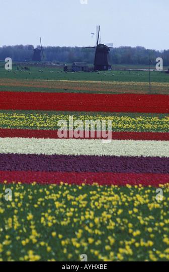 Niederlande Holland Tulpen Blumen Feld Stock Photos