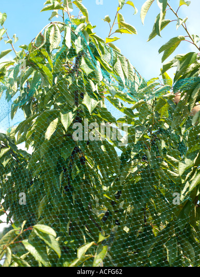 Netting Fruit Stock Photos & Netting Fruit Stock Images