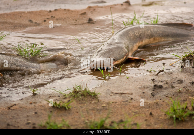 Walking Catfish (Clarias batrachus) make their way across land to spawn in small rainpools Stock Photo