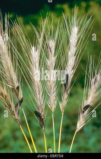 Claviceps Purpurea Rice Hulls