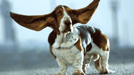 Развесить уши - значение и происхождение фразеологизма