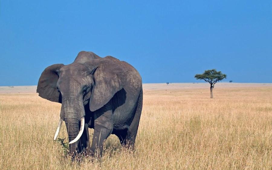 Слон может быть опасен для людей