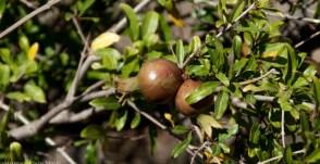 pomegranade - granat