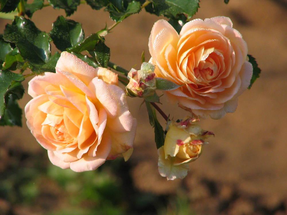 Розы в сентябре
