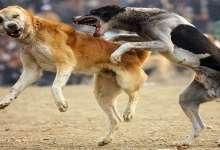 Photo of أجهزة الأمن تكشف هوية القائمين على مصارعة الكلاب بالقليوبية