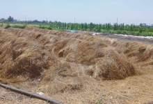 """Photo of الزراعة"""" و """"البيئة"""" تطلقان استعدادات منظومة جمع وتدوير قش الارز في ٦ محافظات"""
