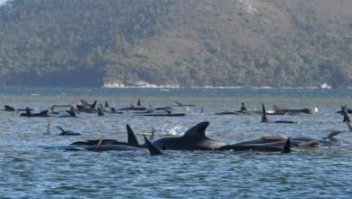 Photo of اسوأ حادثة في التاريخ البحري لحيتان في استراليا
