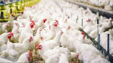 Photo of ظهور بؤر أنفلونزا الطيور في مزارع للدواجن في بعض محافظات الجمهورية
