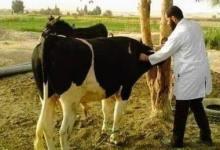 Photo of الطب البيطري: تسجيل ١٤١١٥ رأس ماشية وإستخراج ٢٢٠٣٧ بطاقة