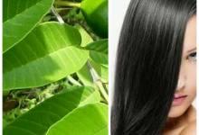 Photo of كيف تساعد أوراق الجوافة في وقف تساقط الشعر ونموه سريعاً جداً