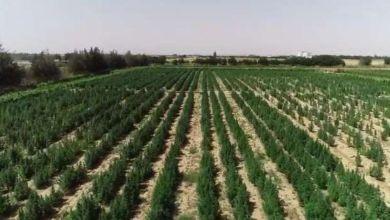 Photo of ضبط أحد الأشخاص لقيامه بزراعة نبات البانجو المخدر بالمنوفية