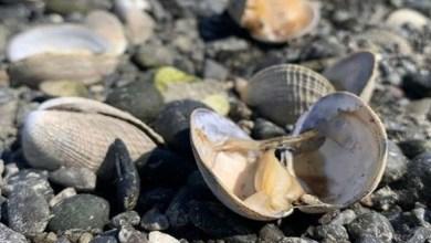 Photo of حرارة الشمس المرتفعة تطهو المحار على شاطئ واشنطن