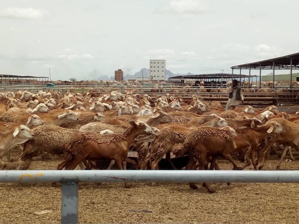 قرار سعودي جديد بشأن إستيراد الماشية السودانية