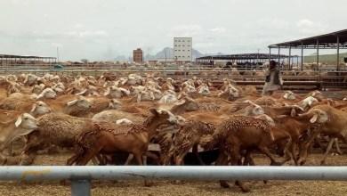 لجنة تقصي الحقائق حول ارجاع صادر الماشية تزور شمال كردفان