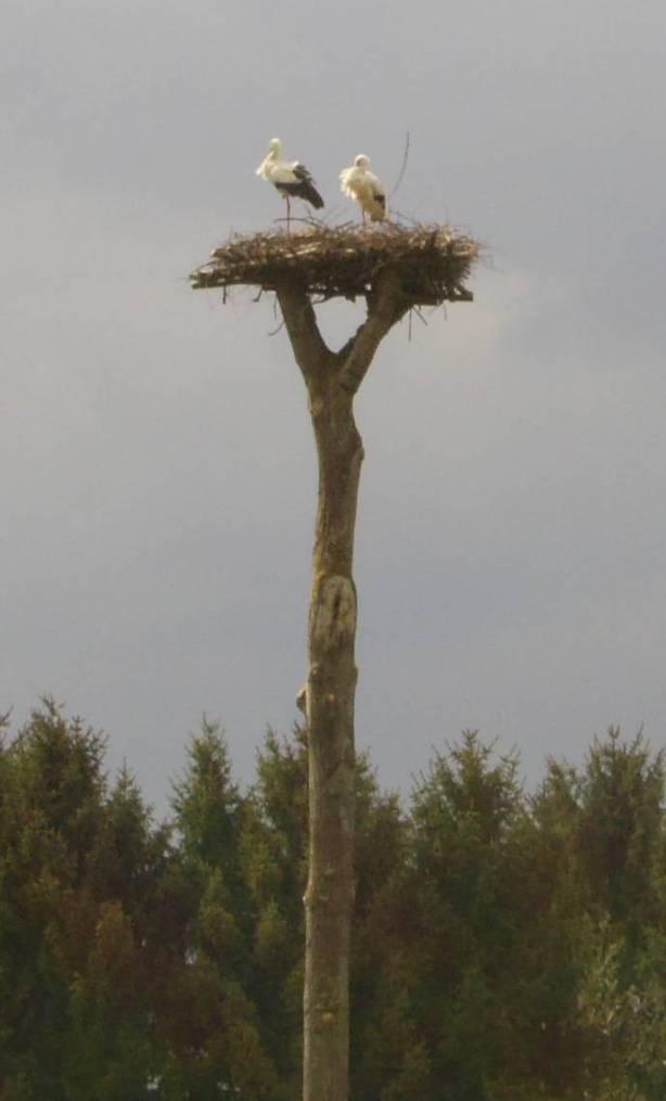 Storchenhorst mit Storchenpaar auf Gemarkung Hambrücken 2009