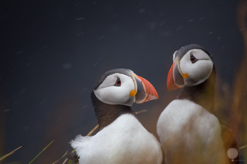 Puffin in love