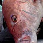 福井で大鯛釣れてますね!