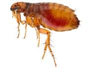 flea-puce