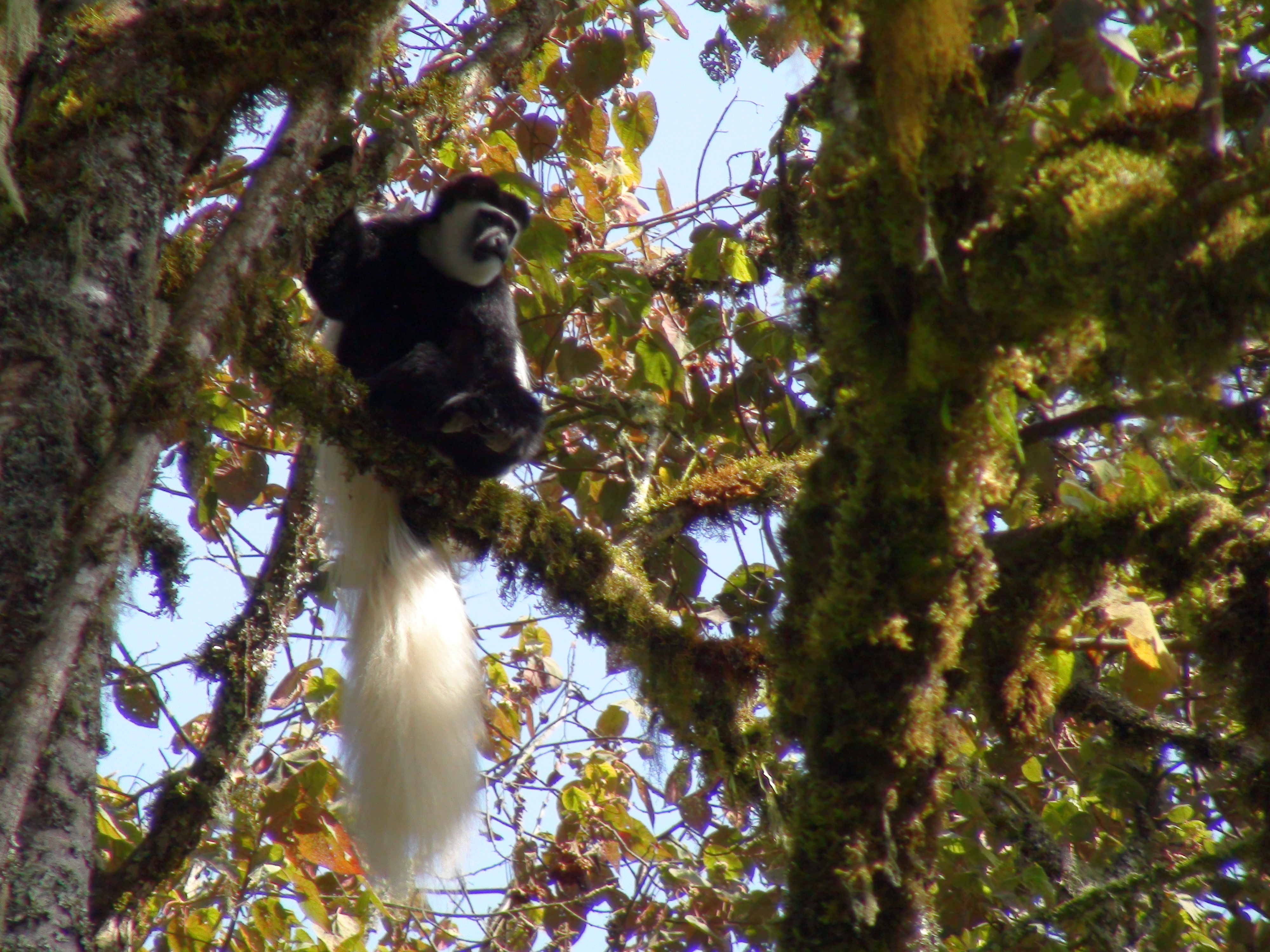 Meeting the Colobus monkey was definitely one of the highlights of my trip