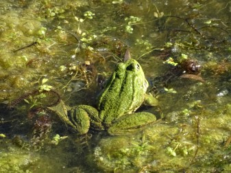 Frosch-Frog-Grenouille