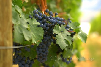 #200 Painted Rock grapes DSC_9472