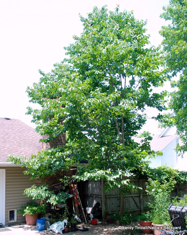 American Persimmon Tree Bark