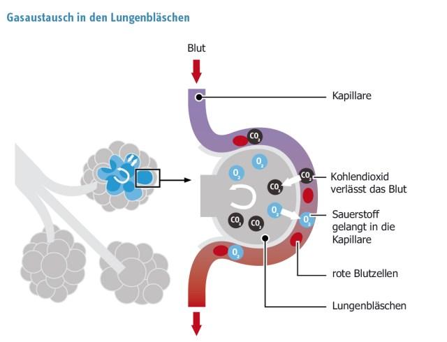 Lungeninfodienst Gasaustausch in der Lunge